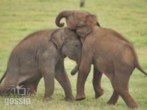 two elephants own to gotabaya rajapaksa