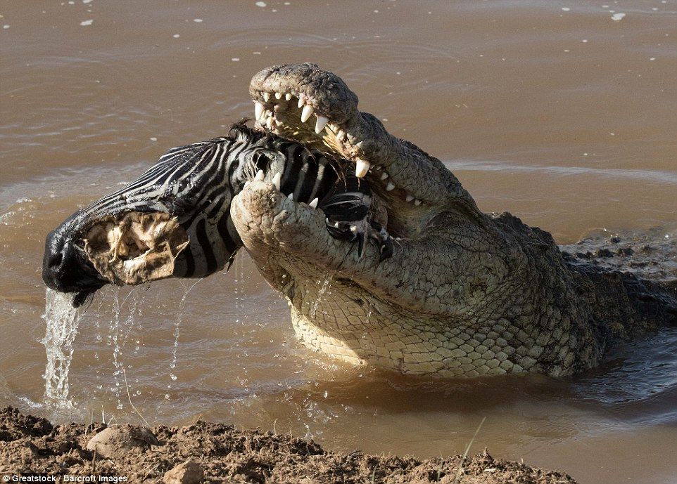 Giant croc swallows unsuspecting zebra photos giant for Goliath tiger fish for sale